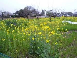 菜の花(4/13)