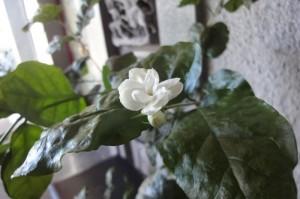 台湾茉莉花 今年初開花