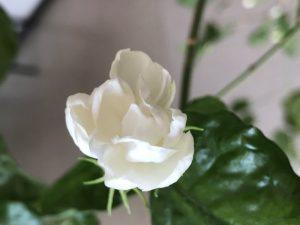 台湾茉莉花