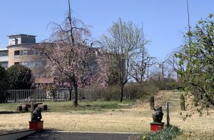 2020年4月2日の桜